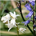 SJ9494 : Whitebells and Bluebells by Gerald England
