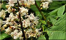 J4772 : Chestnut flowers, Killynether Wood, Newtownards by Albert Bridge