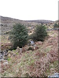 J3530 : Holly trees in the valley of a tributary of the Tullybranigan River by Eric Jones