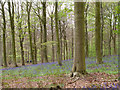 NZ1322 : Woodland with bluebells by Trevor Littlewood