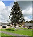 NZ1062 : Monkey-puzzle tree, Prudhoe Hospital by Andrew Curtis