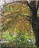 SX9065 : Leaves in the rain, Chapel Hill Pleasure Grounds by Derek Harper