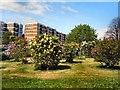 TQ2907 : Lilacs in Withdean Park 2012 by Paul Gillett