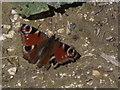 SU7549 : Peacock Butterfly by Colin Smith