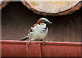 NT6177 : A house sparrow at Knowes Farm Shop by Walter Baxter