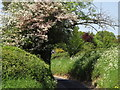 SU8146 : Tree Blossom by Colin Smith