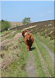 SK2775 : Meeting cattle on track to Barbrook Reservoir by Neil Theasby