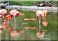 SD3335 : Caribbean Flamingos at Blackpool Zoo by Gerald England