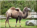SD3335 : Blackpool Zoo camel by Gerald England