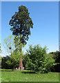 SU9722 : Petworth Park: Wellingtonia by Stephen Craven