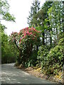 NG9947 : Early Rhododendron by Dave Fergusson