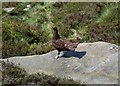 SK1989 : Red grouse spotted at Dovestone Tor by Neil Theasby