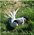 NU2135 : A pair of Arctic Terns by Christine Westerback
