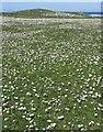 NR2874 : Daisies and sheep by Rob Farrow