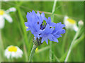 SP9314 : A Cornflower in the Cornfield at College Lake by Chris Reynolds