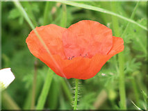 SP9314 : Corn Poppy in Cornfield at College Lake by Chris Reynolds