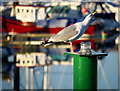 J5081 : Herring Gull, Bangor by Rossographer