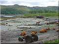 NM8127 : Coastal Argyll : Tractor, Cattle and Boat at Little Horse Shoe, Kerrera by Richard West