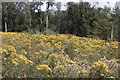 TQ1048 : North Downs Way, clearing with ragwort by Christopher Hilton