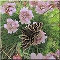 SM7225 : Mother Shipton moth by Greg Fitchett