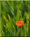 TA1635 : Solitary Poppy by Andy Beecroft