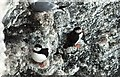TA1974 : Puffins at Bempton Cliffs by John M Wheatley