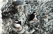 TA1974 : Puffins at Bempton Cliffs by John M Wheatley