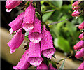 J3245 : Foxgloves, Drumkeeragh forest by Albert Bridge