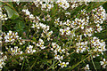 HP6514 : Common Scurvy-grass (Cochlearia officianalis), Norwick by Mike Pennington