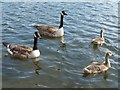 SO1210 : Canada geese with young, Bryn Bach Park, Tredegar by Robin Drayton