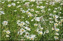 TQ1773 : Moon daisies, Ham House by Philip Halling