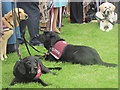SU8099 : Hearing dogs waiting quietly as their owners listen to the speeches by Chris Reynolds