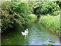 TQ5365 : Swans on The River Darent by PAUL FARMER