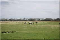 TQ8929 : Sheep, Rother Levels by N Chadwick
