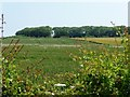 TA1471 : Wheatfield, East Leys by Christine Johnstone