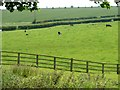 TA1371 : Cattle grazing on the east side of Grindale by Christine Johnstone
