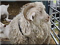 SU9746 : Woolly Sheep by Colin Smith