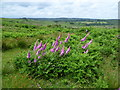 TQ4729 : Foxgloves and Ashdown Forest by Marathon