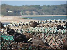 SZ1891 : Mudeford: starlings on lobsterpots by Chris Downer