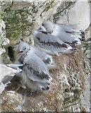 TA1974 : Kittiwake chicks at Bempton Cliffs by Pauline E