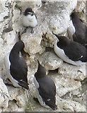 TA1974 : Guillemots guarding chick, Bempton Cliffs by Pauline E