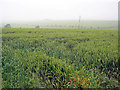 SK7268 : Wheat crop near Egmanton Hill Farm by Trevor Rickard