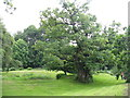 NS7353 : One of the Cadzow Oaks at Chatelherault by M J Richardson
