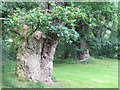 NS7353 : Two of the Cadzow Oaks by M J Richardson