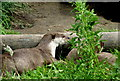 TR2558 : Otters at Wingham Wildlife Park by pam fray