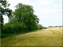SU2763 : Barley field near Bridge 98, Kennet and Avon canal, near Crofton by Brian Robert Marshall