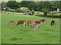 NZ0458 : Jersey calves at Wheelbirks Farm by Oliver Dixon