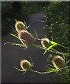 SX9066 : Teasel, rear of Torquay County Court by Derek Harper