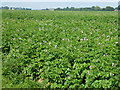 TF3325 : Potato crop in flower in the fenland of Lincolnshire by Richard Humphrey