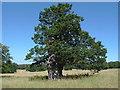 SU9472 : Parkland oak by Alan Hunt